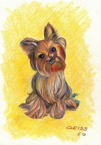 Yorkshire Terrier - Hund